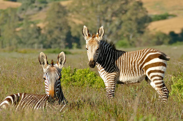 Cape Mountain Zebras.