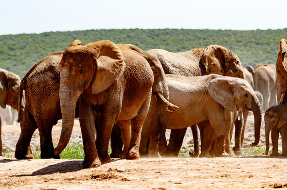 Herd of elephants in Addo Elephant National Park.