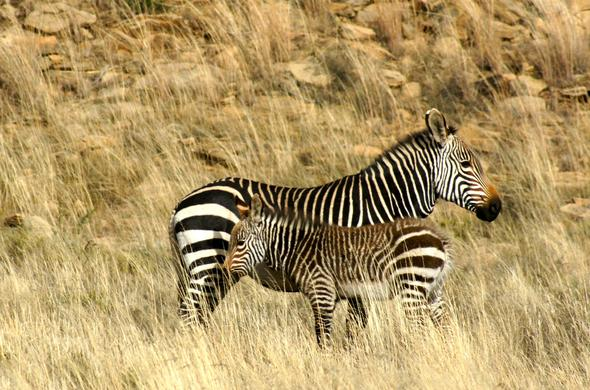 Mountain Zebra National Park.